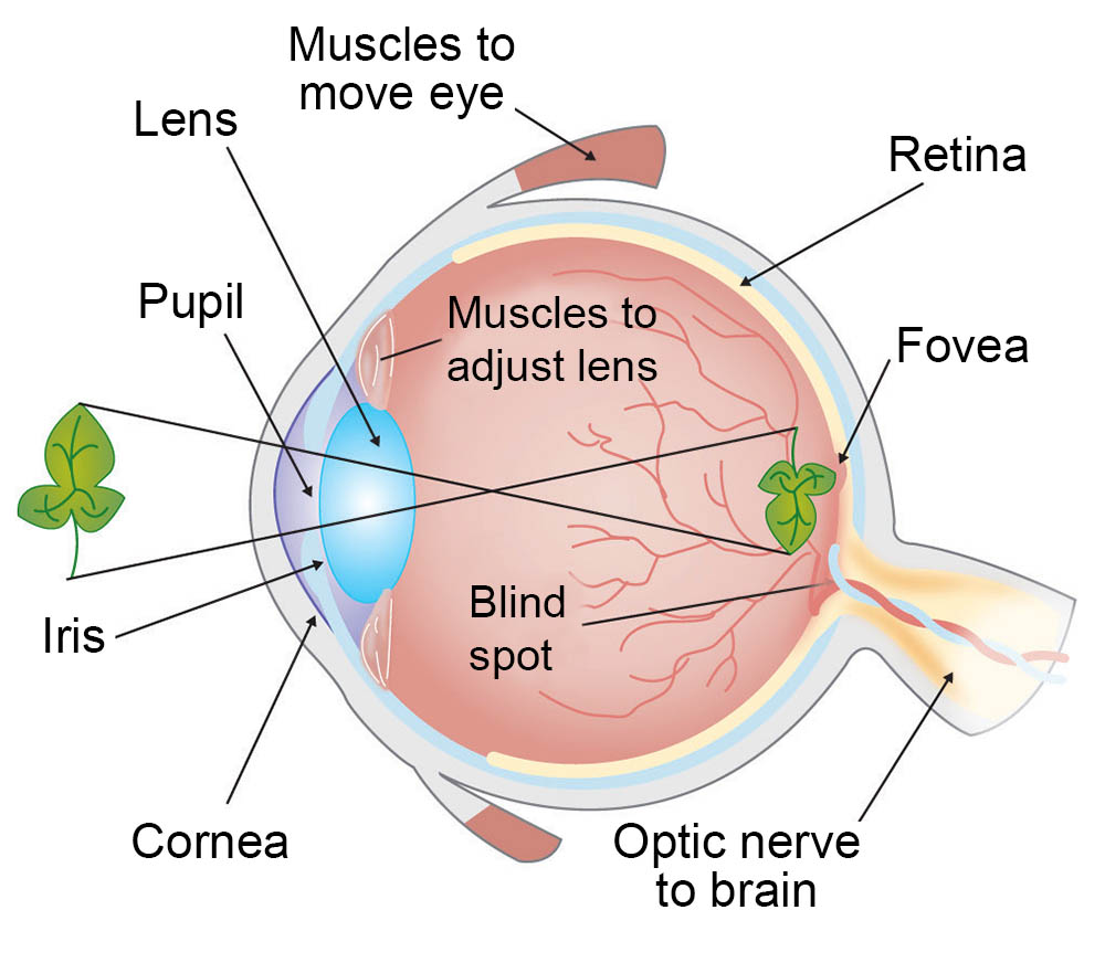 structure of human eye with diagram sample sequence for web application how do we see light ask a biologist the anatomy