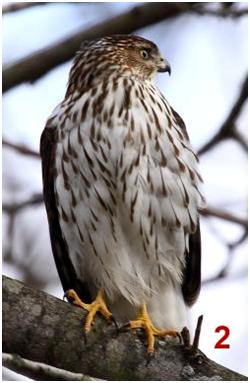 hawk sitting on a branch