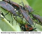 BEBs on boxelder seeds-schwartz