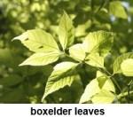 boxelder leaves