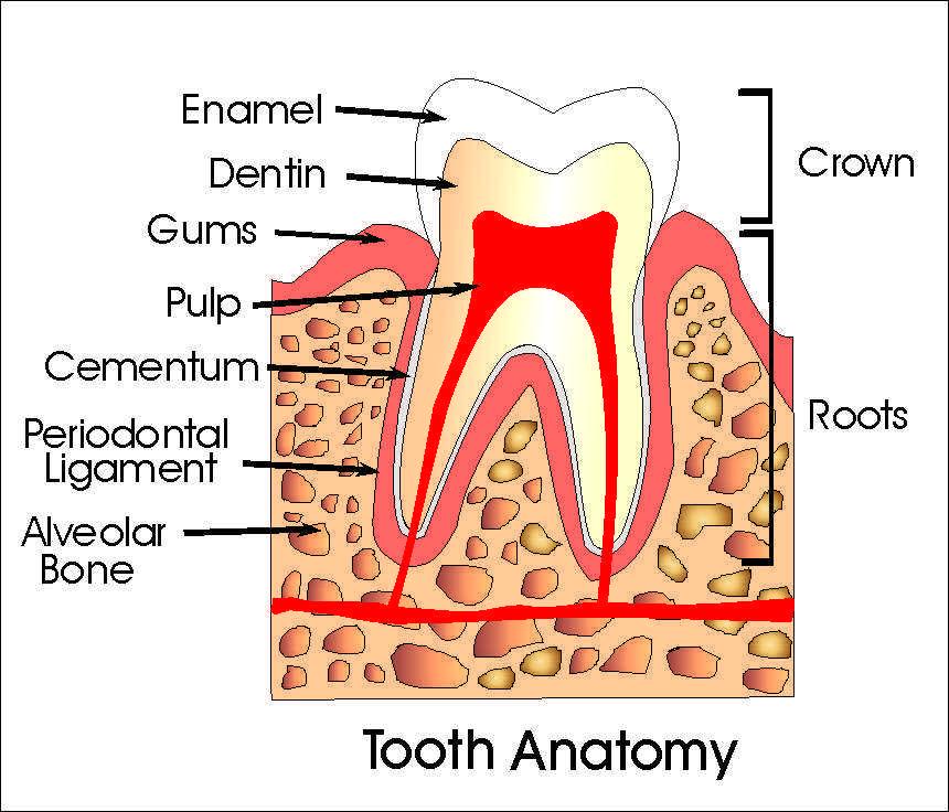 dental anatomy | Ask an Orthodontist.com