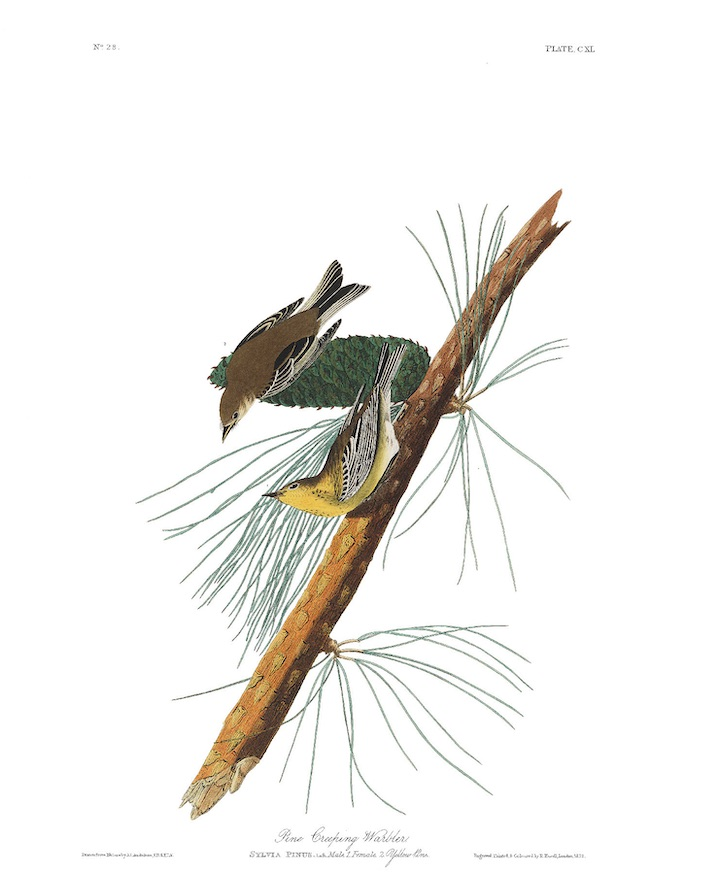 The Pine warbler as drawn by John James Audubon.