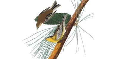 The Pine warbler as drawn by John James Audubon.