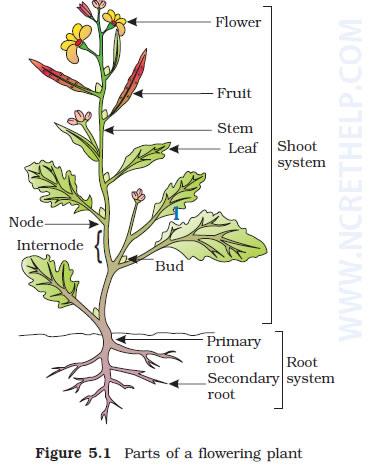 Chapter 5 Morphology Of Flowering Plants Part1 Handwritten