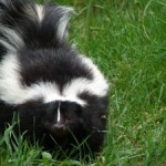 Skunk Animal Totem, Power Animal or Spirit Animal