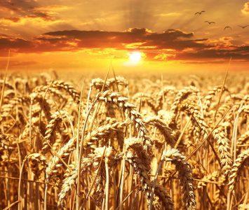wheat-640960_1920
