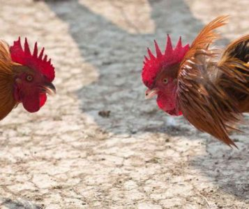Cambodians Angered by 'Impunity' of Killing Fighting Roosters