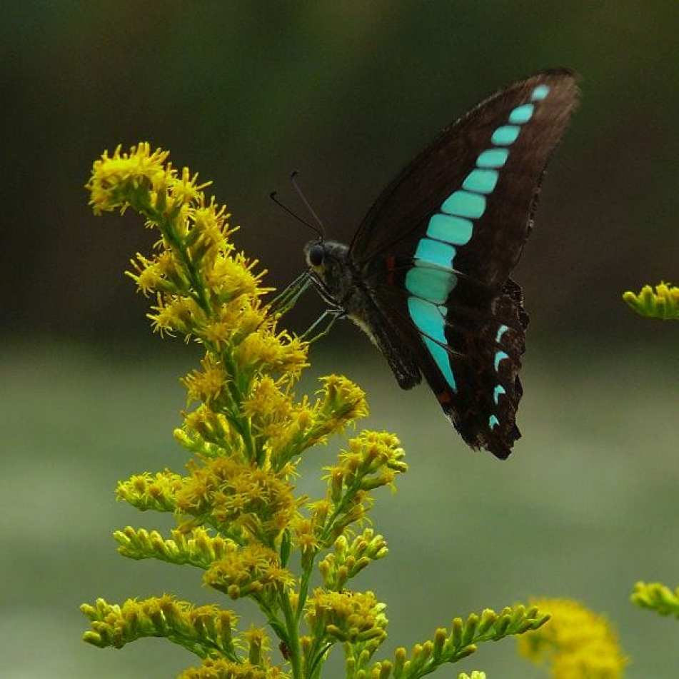 scales enhance wing color blue triangle butterfly asknature