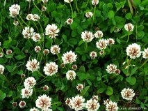 Hvítsmári - Trifolium repens