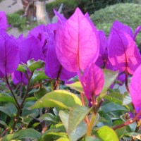Beautiful blooms of a bougainvillea bonsai.