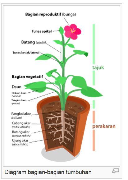 Fungsi Daun Tumbuhan : fungsi, tumbuhan, Bagian, Tumbuhan, Fungsinya
