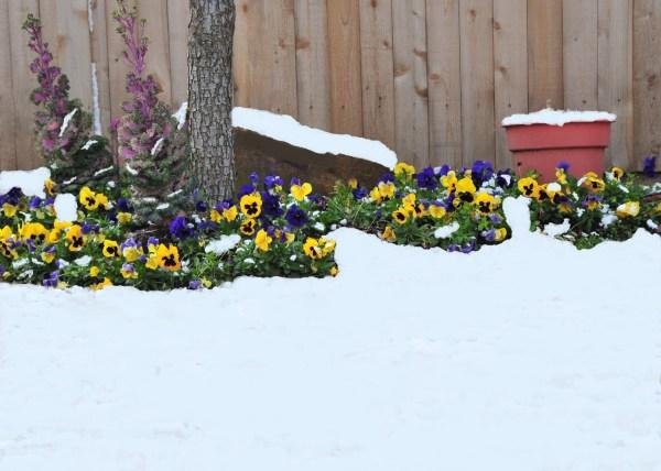 pansies in snow mimi sees