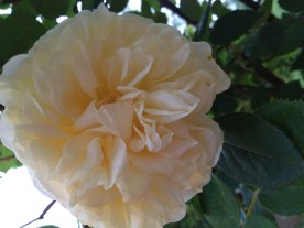 Look at our pretty roses! This yellow one is by far the prettiest.