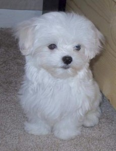 Teacup Puppies For Sale Nc : teacup, puppies, Precious, Micro, Teacup, Maltese, Puppies~, SUPER, Available!, Cornelius,, ASNClassifieds