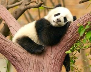 だらっと子パンダ