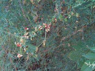 Nueza (Bryonia dioca)
