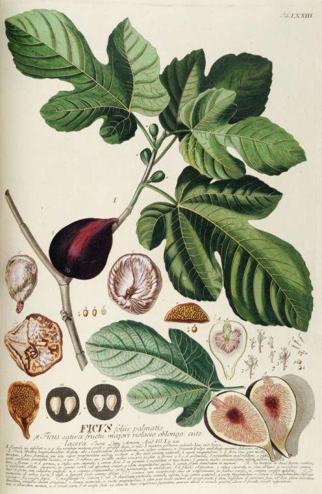 Detalle de una breva en la lámina botánica de la higuera (Ficus carica)