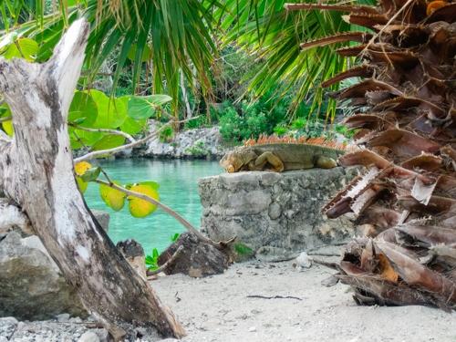 Orange iguana in Cozumel