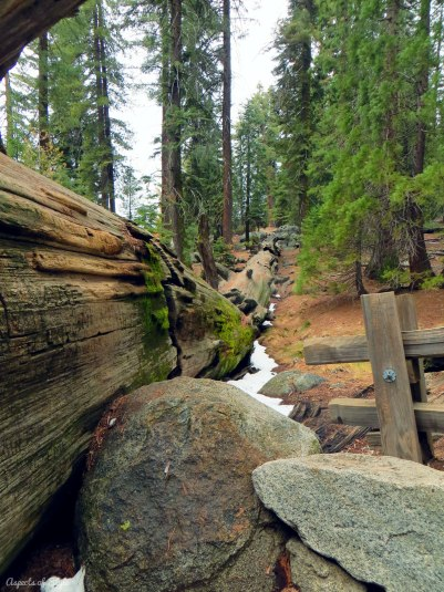 Fallen sequoia, Sequoia National Park