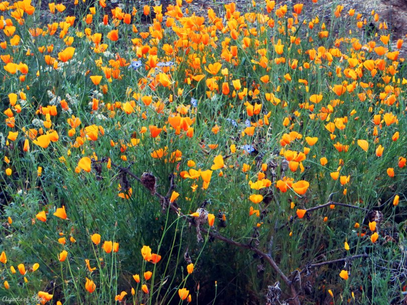 California's orange poppies