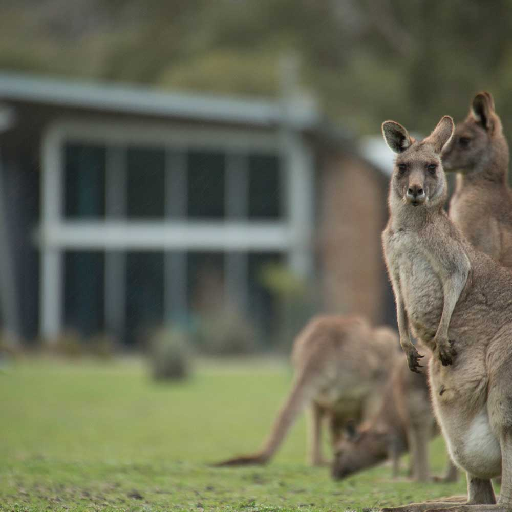 kangaroos_large_square