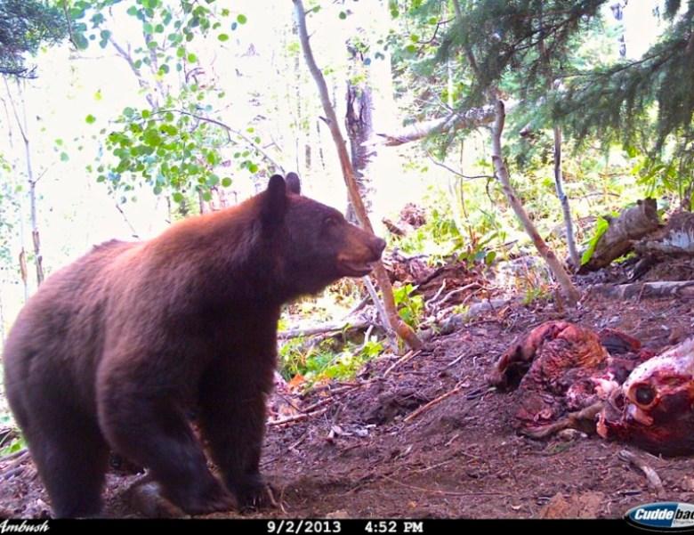 bear and carcass