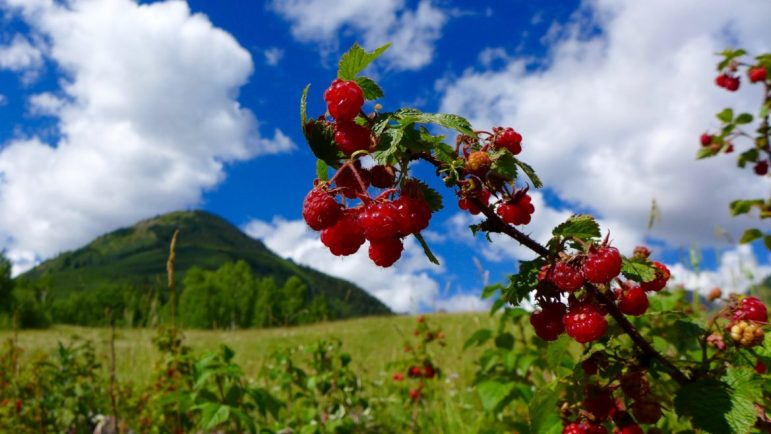 Rasberries in Stein Meadow, where the City of Aspen has told the state it intends to build, someday, a 155-foot-tall dam to hold back 4,567 acre-feet of water.