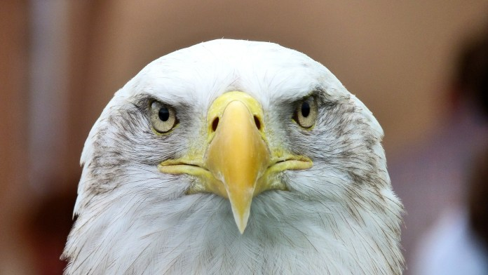 An American bald eagle headshot