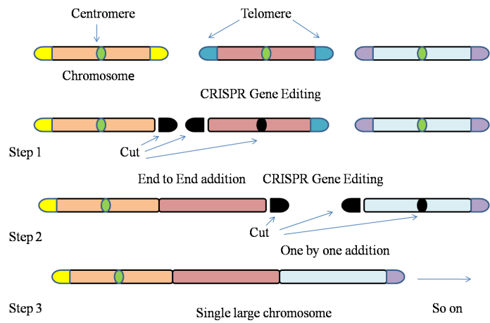 Gene-editing technology used to fit entire genome of yeast on a single large chromosome.