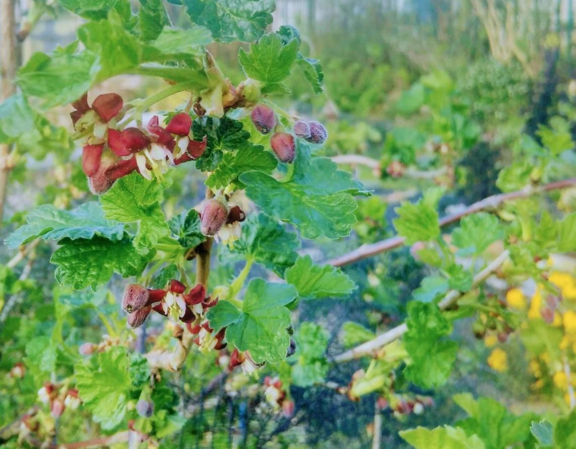 jostaberry flowers