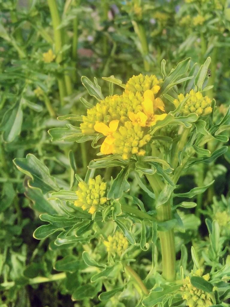 flowering land cress