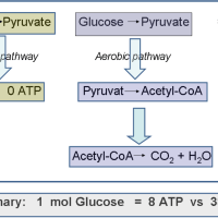 https://i0.wp.com/asploro.com/wp-content/uploads/2019/03/Fig-2_Schematic-energy-Production-in-Anaerobic-and-Aerobic-Glycolysis.png?resize=200%2C200&ssl=1