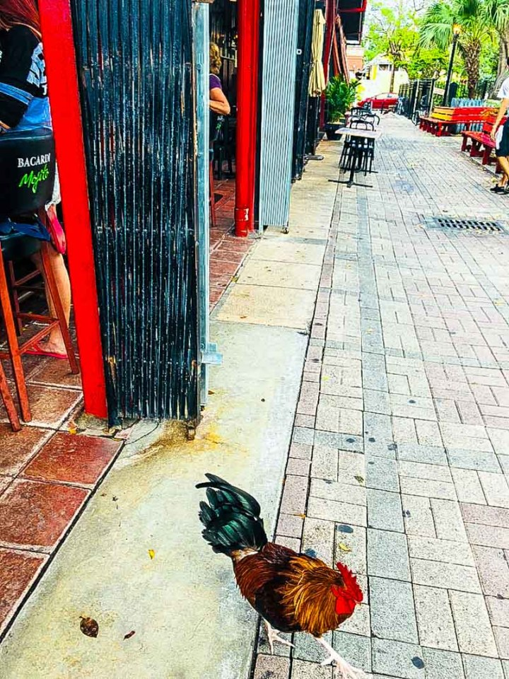 Another rooster at the bar