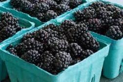 Hardy Giant Blackberry Plant | Huge Sugar Sweet Berries!