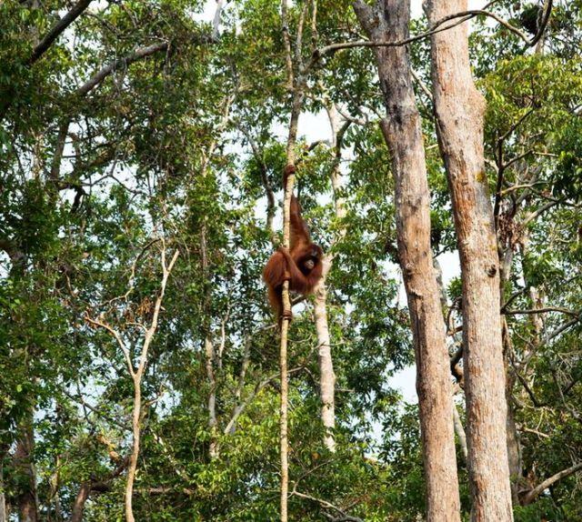Hutan hujan di Kalimantan menjadi rumah bagi berbagai satwa langka dan dilindungi, termasuk oranguta