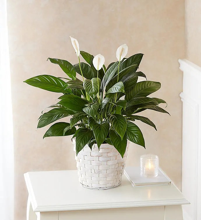 Peace Lily Plant For Sympathy In Levittown Ny Gabriela S Garden Florist