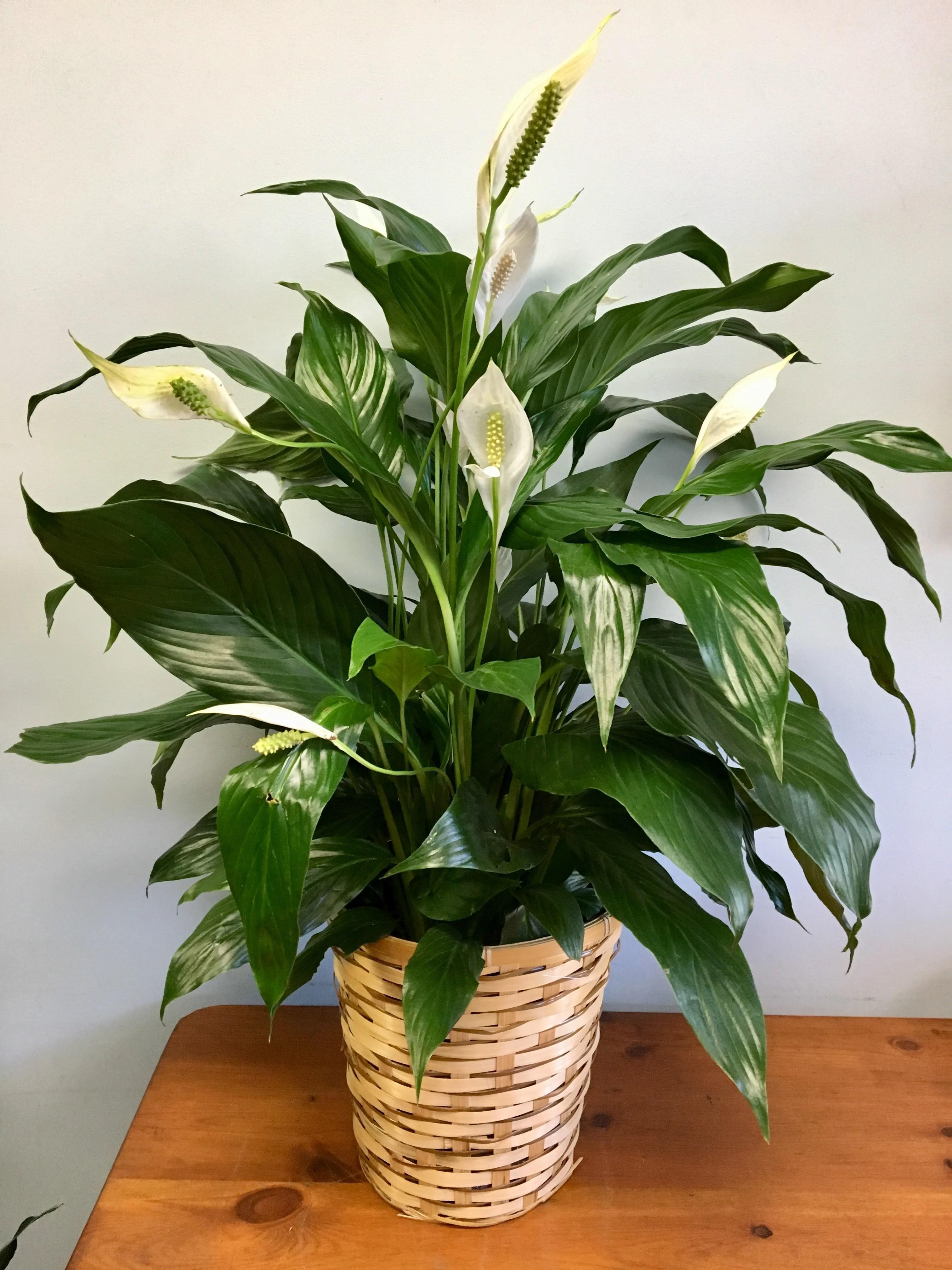 Peace Lily Floor Plant In Cambridge Ma Coady Florist