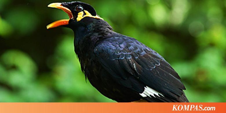 Burung Beo sampai Katak Ditemukan di Pesawat  Kompascom