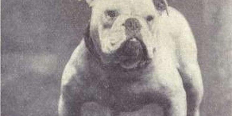 Anjing english Bulldog di tahun 1915