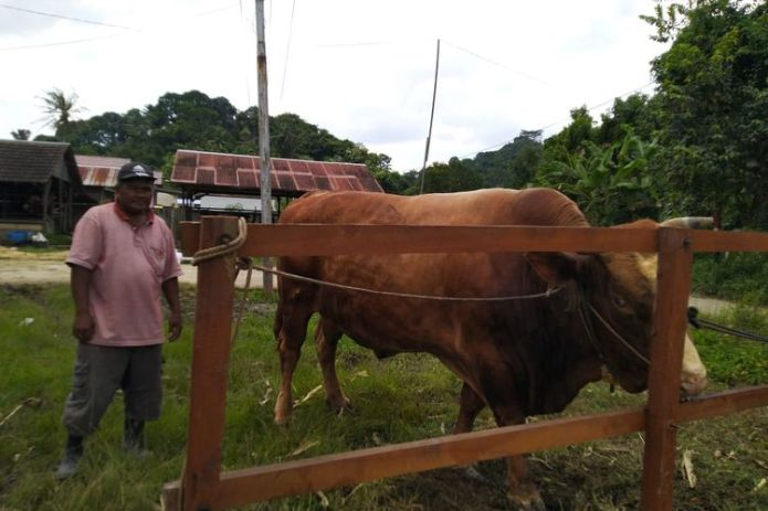 Subroto when showing cattle bought by President Joko Widodo in Lempake Village, Samarinda, East Kalimantan, Wednesday (07/29/2020).