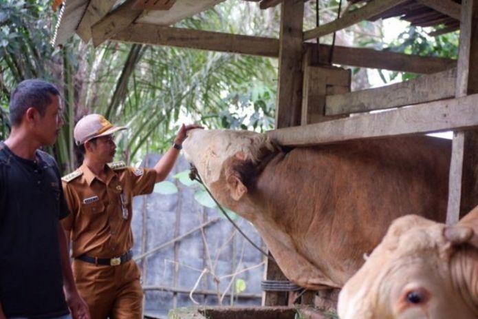 President Jokowi's sacrificial cow weighing 1 ton comes from Konawe Selatan district