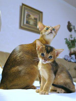Nama Kucing Yg Bagus : kucing, bagus, Jenis, Kucing, Paling, Populer,, Tidak, Hanya, Persia, Halaman, Kompas.com