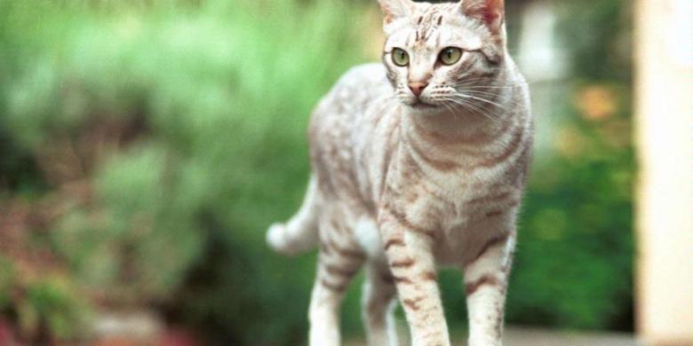 Waspada Penyebaran Toksoplasma Lewat Tinja Kucing