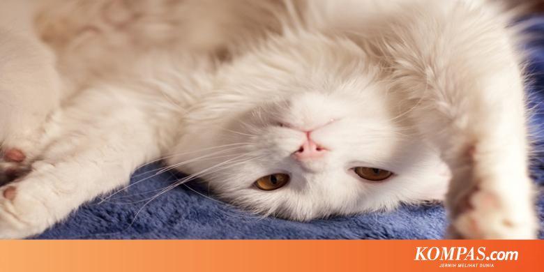 Bahaya Lain dari Virus di Kotoran Kucing