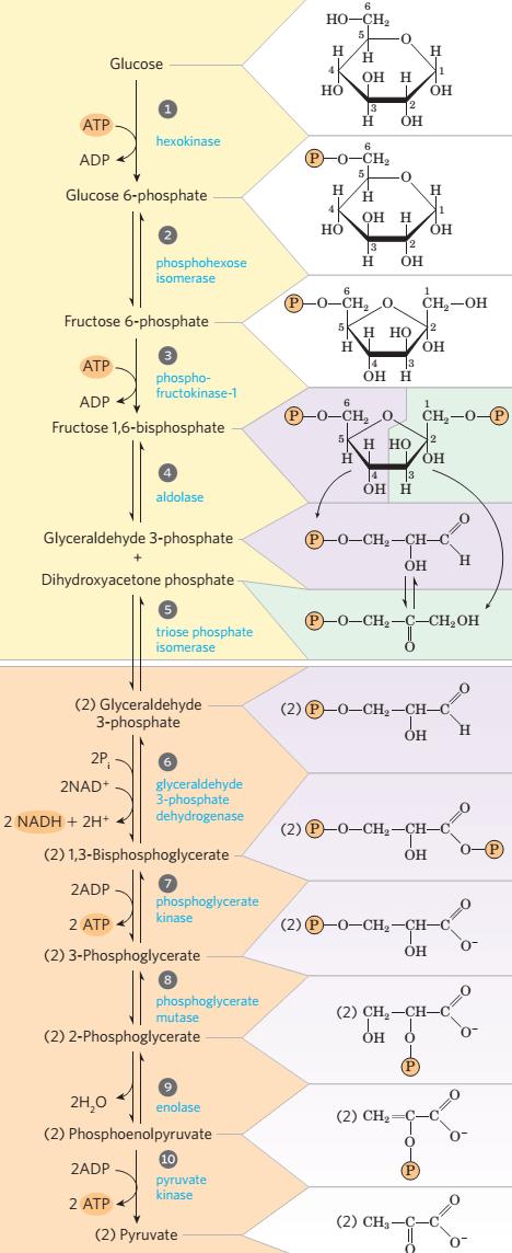 Hubungan Katabolisme Karbohidrat, Protein Dan Lemak