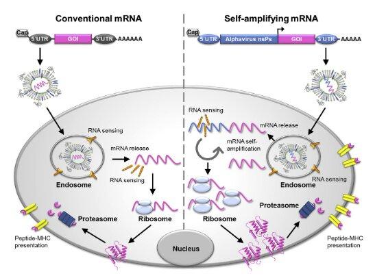 L'aventure scientifique des vaccins à ARN messager – Réalités Biomédicales