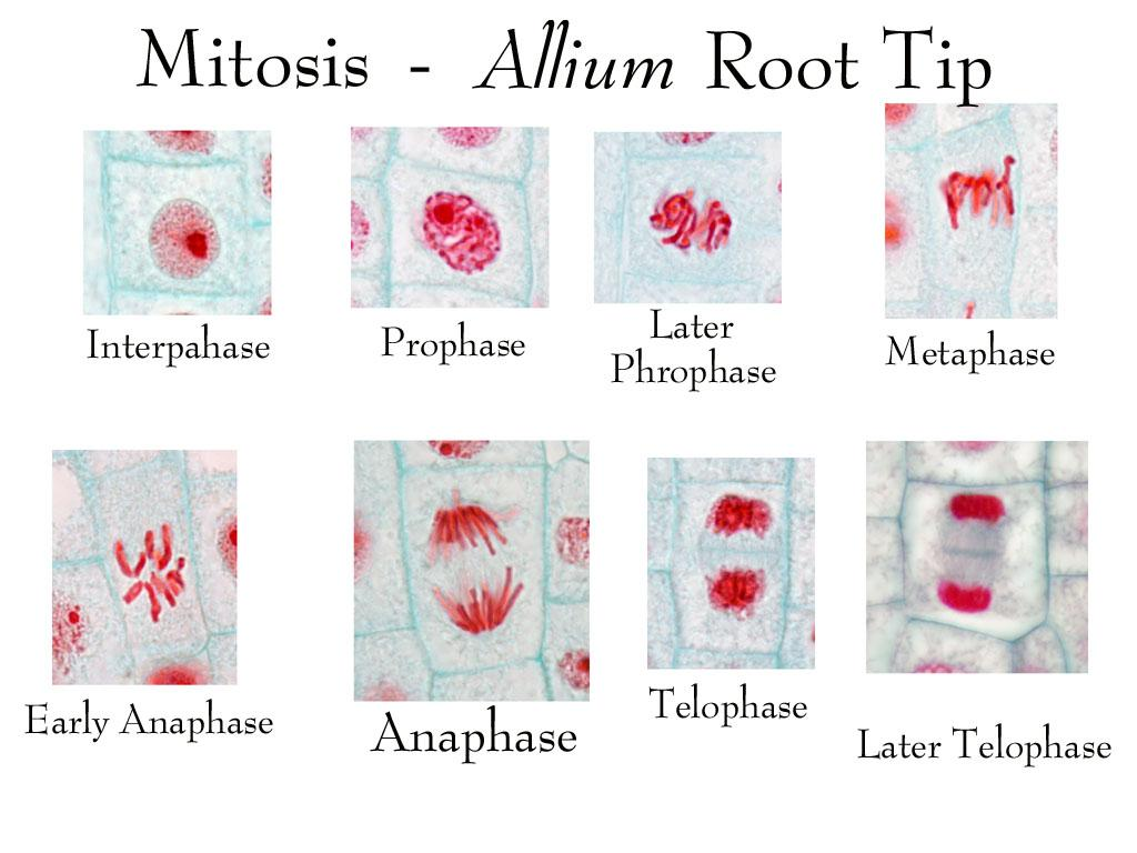 Composite Of All Stages Of Mitosis In Onion Root Tip