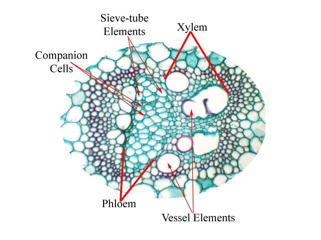 Labeled Vascular Bundle In Cross Section Of Zea Stem