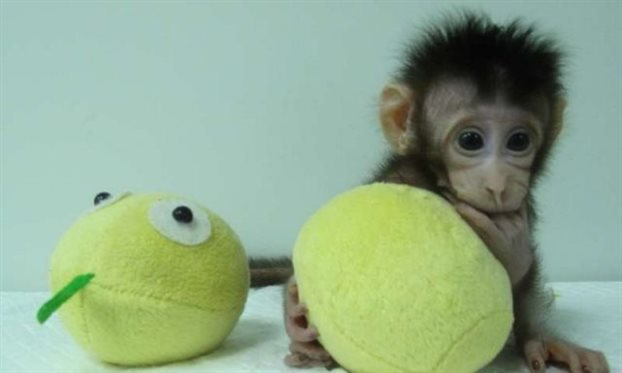 Κινέζοι ερευνητές πέτυχαν να κλωνοποιήσουν μαϊμούδες