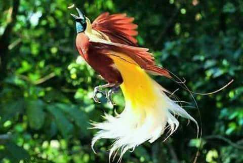 Hasil gambar untuk burung cendrawasih